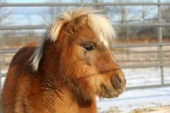 Miniature Horse. Head shot close-up in sun Stock Photo