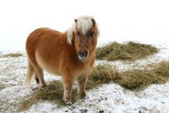 Miniature Horse. Standing in snow eating hay Stock Images