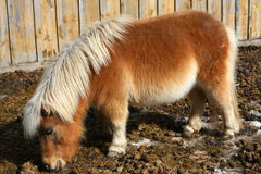 Miniature Horse. Looking for food in morning sun Royalty Free Stock Image