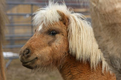 Miniature Horse. Close-up head shot in early spring Stock Images