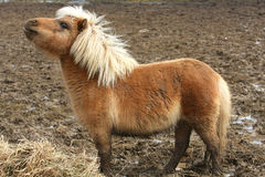 Miniature Horse. On early spring morning feeding time Stock Images