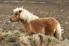 Miniature Horse Royalty Free Stock Photos