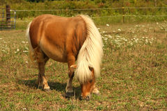 Miniature Horse. Feeding in field in sun Stock Images
