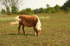 Miniature Horse. Feeding in field in sun Stock Image