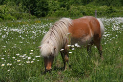 Miniature Horse. In sun in a field of ox-eyed daisy flower Stock Images