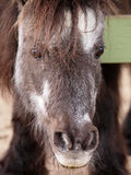 Miniature horse Royalty Free Stock Photography