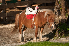 Miniature Horse. Standing on grass in morning sun Royalty Free Stock Image