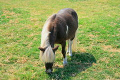 Miniature Horse. At the farm on a sunny day Royalty Free Stock Photo
