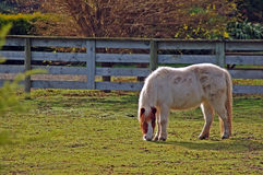 Miniature Horse. In paddock at Masterton,New Zealand Royalty Free Stock Photography