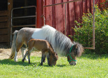 Miniature Horse with Baby. A miniature horse grazes on grass with her tiny foal Royalty Free Stock Images