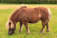 Miniature horse with bridle and lead, eating grass. A chestnut colored miniature horse grazing on a lawn. This one has pony-like proportions with short legs and Stock Photos