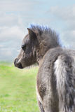 Miniature Horse Colt in Green Pasture. Silver colored six week old miniature horse colt in green pasture against blue cloudy sky Stock Photo