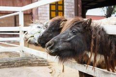 Miniature horse Stock Photo