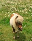 Miniature horse in field stock photos