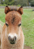 Miniature horse foal. Cute brown miniature horse foal in the field Stock Photography