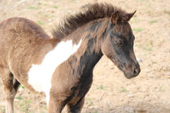 Miniature horse foal. A special breed Royalty Free Stock Images
