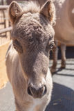 Miniature Horse Foal Head On Royalty Free Stock Photo