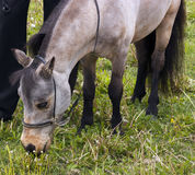 Miniature horse Royalty Free Stock Images