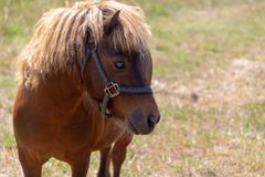 A miniature horse grazing in the pasture. royalty free stock photography