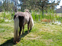 Miniature Horse Grazing By Pond Stock Photos