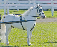 Miniature Horse in Harness. Miniature White horse in harness at a country fair in summer time on a sunny day Stock Photography