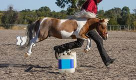 Miniature horse jumping royalty free stock photography