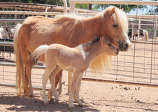 Miniature Horse Mare and Foal Royalty Free Stock Photography