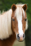 Miniature horse in meadow royalty free stock image
