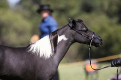 Miniature horse Royalty Free Stock Image