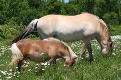 Miniature horse & Norwegian Fjord horse Stock Image
