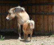 Miniature horse & Norwegian Fjord horse Royalty Free Stock Photos