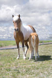 Miniature Horse and Nursing Foal. Beautiful pinto miniature horse mare and her nursing foal in a field against cloudy skies Stock Photo
