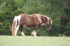Miniature horse in the paddock Stock Image
