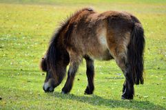 Miniature horse in pasture Royalty Free Stock Images
