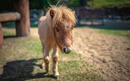 Miniature Horse In A Pasture Portrait royalty free stock photos