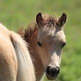 Miniature Horse Peek-a-Boo. Baby miniature horse peeking around it's mother's behind Royalty Free Stock Image