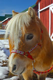 Miniature Horse Portrait. A portrait of miniature horse with red barn in background Royalty Free Stock Images