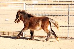 Miniature Horse on the Run. Brown miniature horse running around it's pen Royalty Free Stock Photography