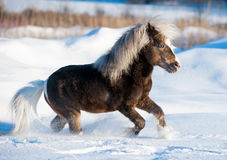 Miniature horse running in the snow in field Stock Photos