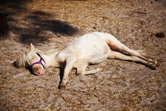 Miniature horse taking an afternoon nap Royalty Free Stock Images
