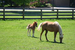 Miniature horses. Miniature horse mother and baby Royalty Free Stock Image