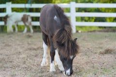Miniature horses Royalty Free Stock Image