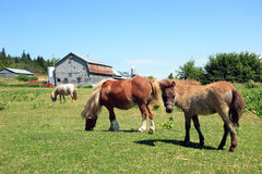 Miniature horses  in a field Stock Photo