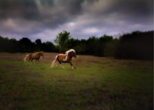 Miniature horses galloping. In a field on a stormy day stock photography