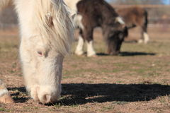 Miniature Horses Grazing. White miniature horse grazing with two other minature horses in the background Royalty Free Stock Photography