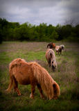 Miniature horses in pasture. Five miniature horses in pasture royalty free stock image