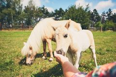 Miniature horses on the pasture. Hand of the farmer caress foal stock images