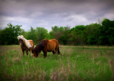 Miniature horses in pasture. Two miniature horses in pasture royalty free stock photos