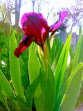 Miniature iris Royalty Free Stock Photo
