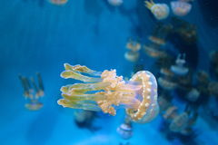 Miniature Jellyfish stock photography